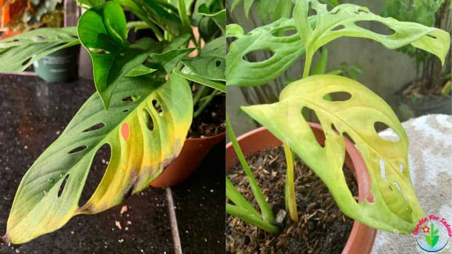Reasons for monstera yellow leaves